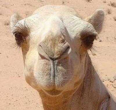 800AD CAMEL