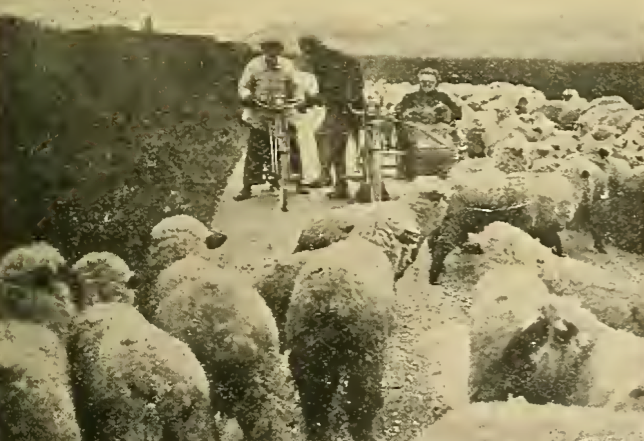 1912 LANDS END SHEEP